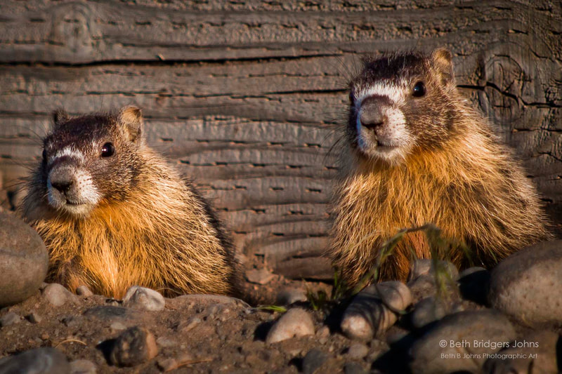 Yellow-bellied Marmots, Beth B Johns Photographic Art
