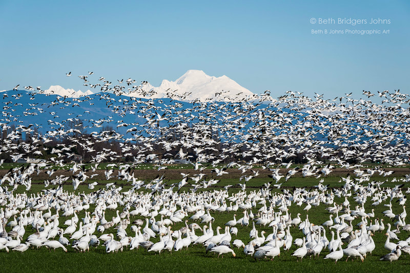 Snow Geese, Skagit Valley, Mount Baker, Beth B Johns Photographic Art