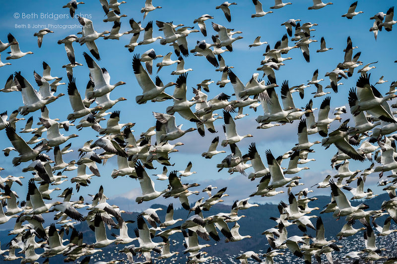 Snow Geese, Skagit Valley, Beth B Johns Photographic Art