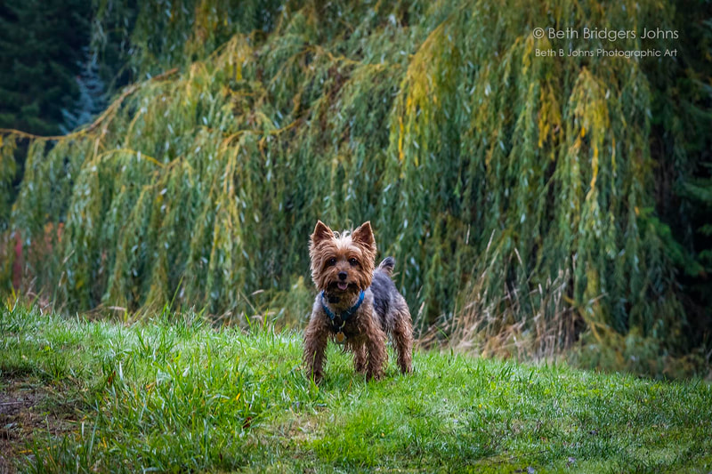 Yorkshire Terrier, Beth B Johns Photographic Art