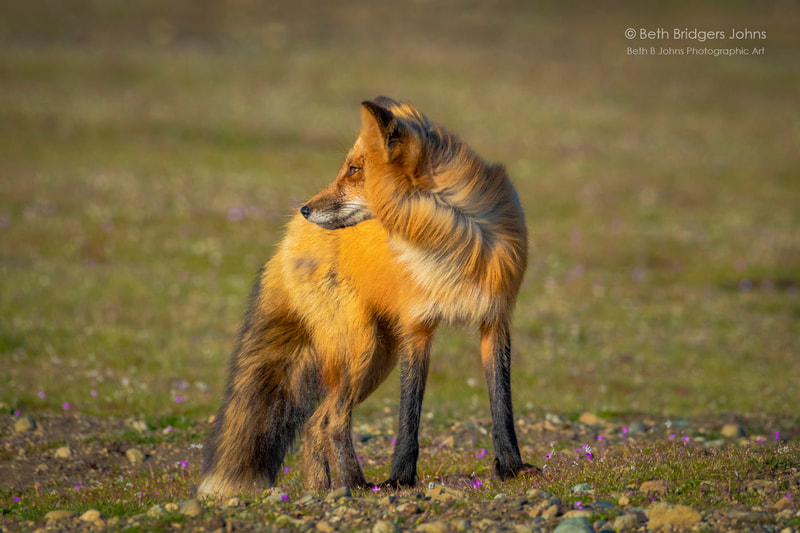 Red Foxes, Beth B Johns Photographic Art